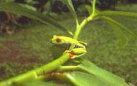 Frosch honduras