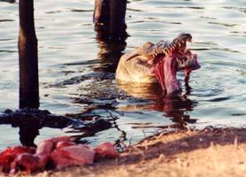 Alligator Honduras